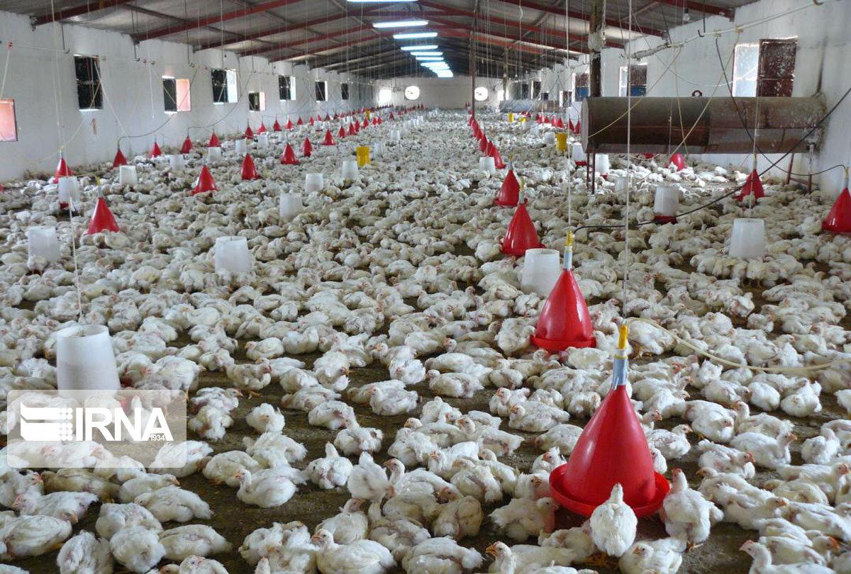 استان قم روزانه به ۴۰ تن مرغ نیاز دارد/ در تأمین مرغ و جوجهریزی مشکلی نداریم