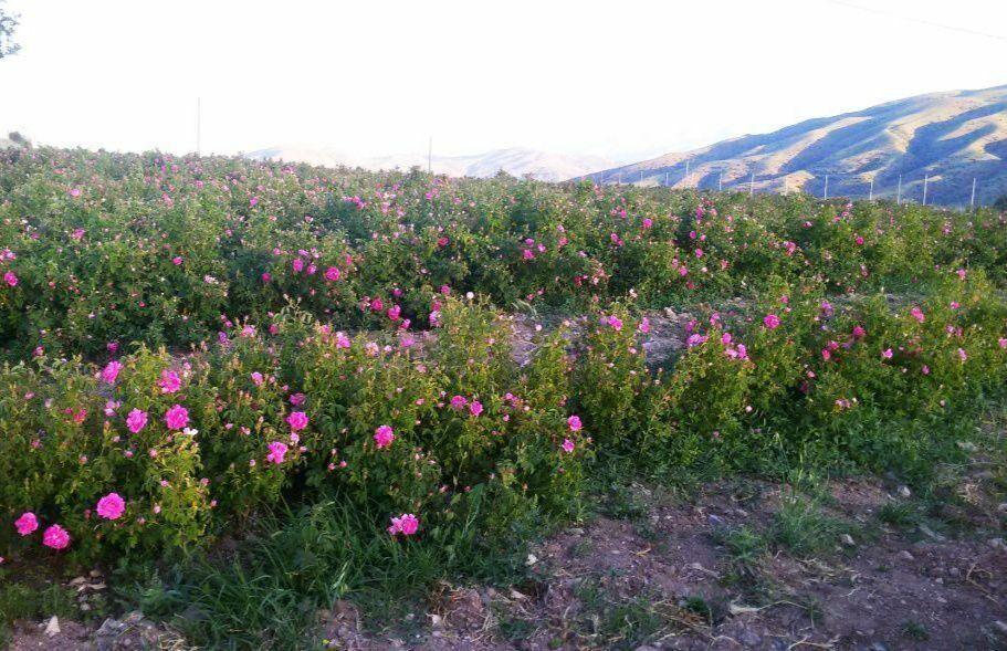 ۴۴۸ هکتار از مزارع قم زیر کشت گل محمدی است